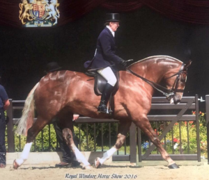 Novice Cob Knightsbridge Seventh in the Cob Championship at Royal Windsor 2016